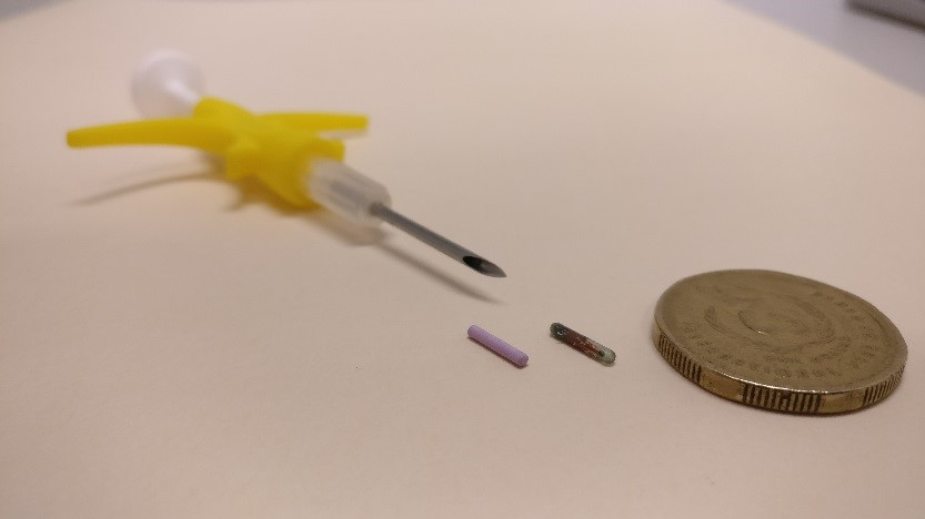 rod-shaped-implant-is-injected-under-the-skin-of-the-native-animal